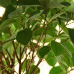 Indoor Ficus Plants - Care & Growing Instructions